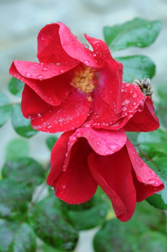 rose-fanee-rosee-2