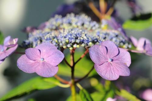 Hortensia, fleur simple, Plonéour, juillet 2012