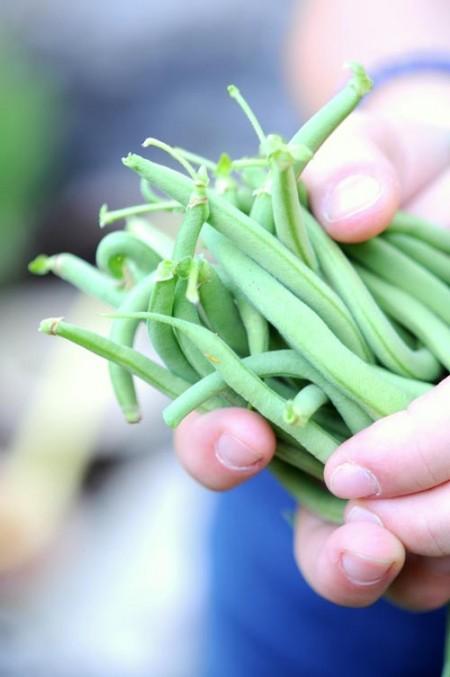 Haricots verts fraichement cueillis