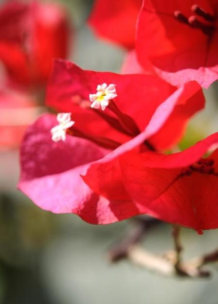 Bougainvilliers en fleur