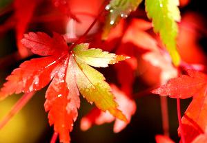 Feuilles d'automne, érable (bonsaï)