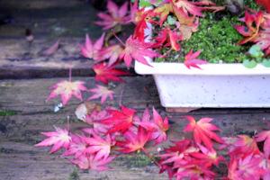 Un érable bonsaï au début de l'automne
