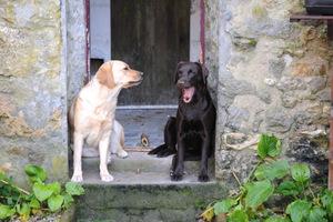 Mes Labradors chocolat et jaune