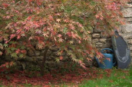 Erable dans notre jardin