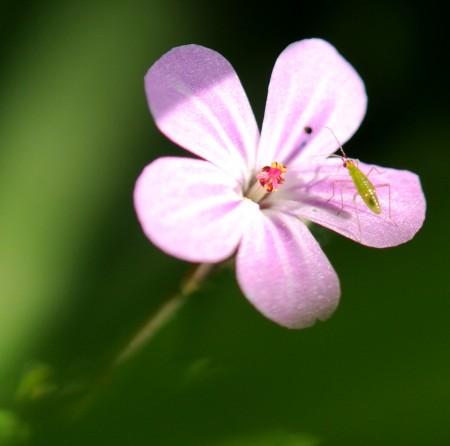 Fleur et son insecte à Saclas