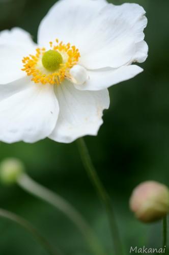 anemone-japon-al1