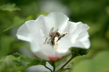Bourdon ivre de pollen