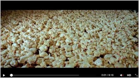Elevage industriel de volailles